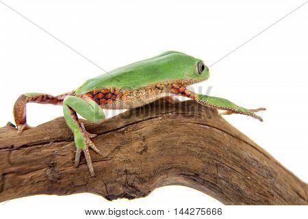 Leaf frog Phyllomedusa ayeaye isolated on white background