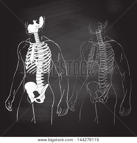 Human body parts skeletal man anatomy vector illustration chalk drawing on the blackboard