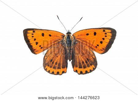 Large copper butterfly (lycaena dispar) isolated on a white background