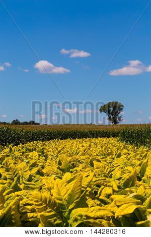 Kirkwood PA - August 23 2016: A field of yellow or golden colored tobacco nearly ready to harvest on a Lancaster County farm.