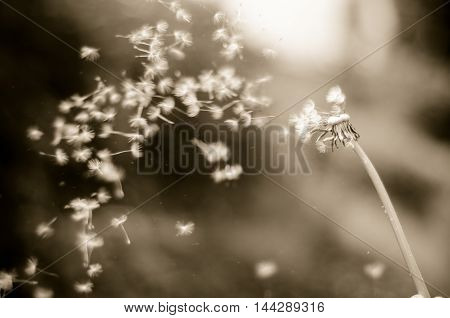 Vintage b&w photo of Dandelion with seeds blowing away across a blur background.