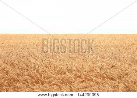 big field covered of cereals till skyline isolated over white