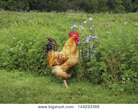 Brown rooster with red comb and black tail standing on the green grass and flowers