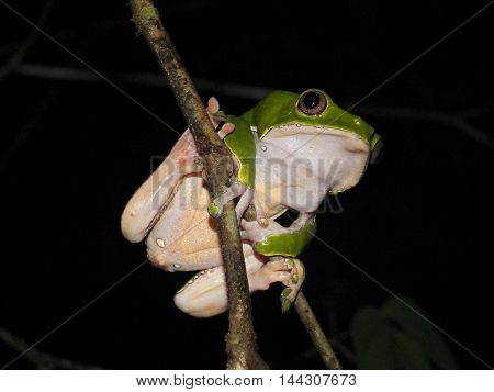 Bicolor monkey tree frog sitting on a jungle tree branch