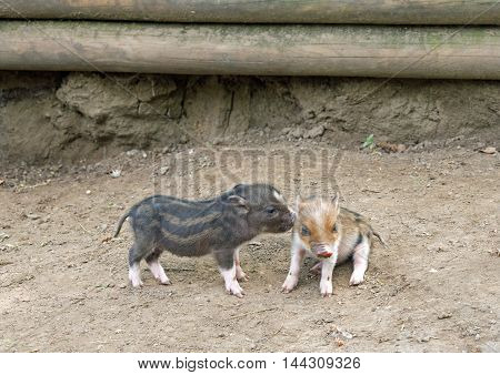 Several pot bellied pig (piglet) on ground