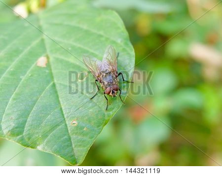 Fly sits on a leaf, insects in forests and parks. Fly -  threat to human health and Pets. Insect carrier of infection and disease.