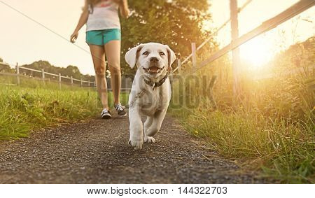 Walk a young woman with dog at sunset next to a paddock - Labrador puppy running with pretty face