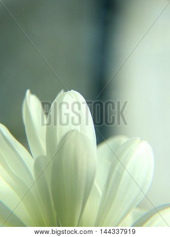 White chrysanthemums on the table flower macro closeup nature garden petal bud cultivation flora botany bloom fragrance smell