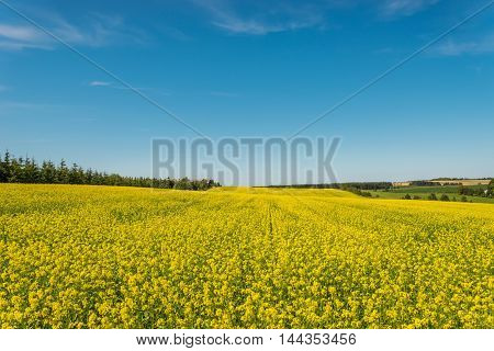 Yellow rapeseed field in bloom (Green Gables Shore Prince Edward Island Canada)
