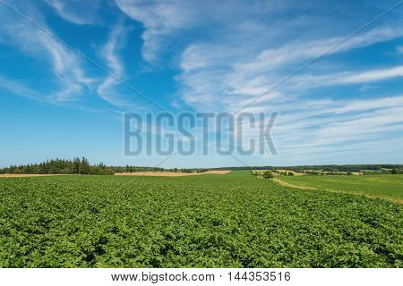 Green field of potatoes (Green Gables Shore Prince Edward Island Canada)