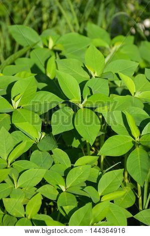 fresh green painted spurge grass in nature garden