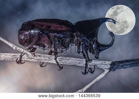 Scarab beetle in forest. Closeup realistic colorful tropical beetle perched on a branch over bright full moon background at nighttime. The moon were NOT furnished by NASA.
