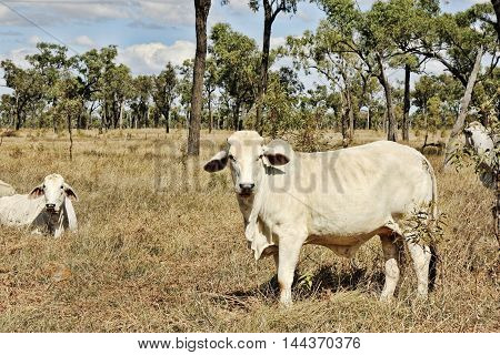 farm cows roaming in the bush of Australia outback