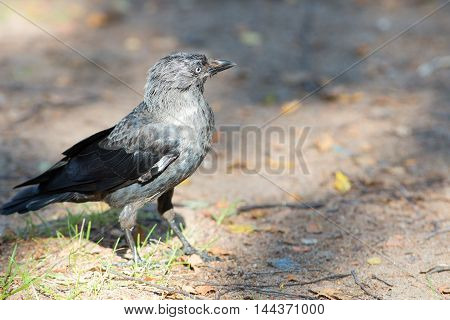 Portrait of a jackdaw on the grass closeup
