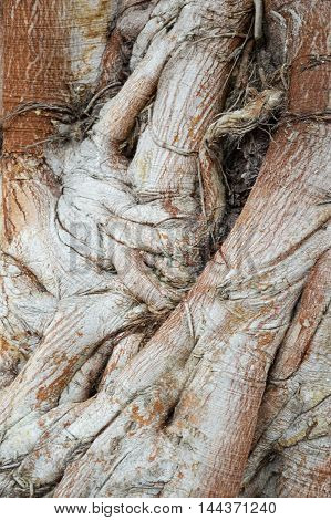 close up dry bark bodhi tree texture