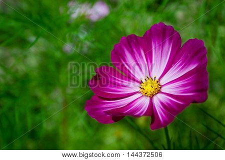 Violet pink cosmea, cosmos flower, cosmea on green background