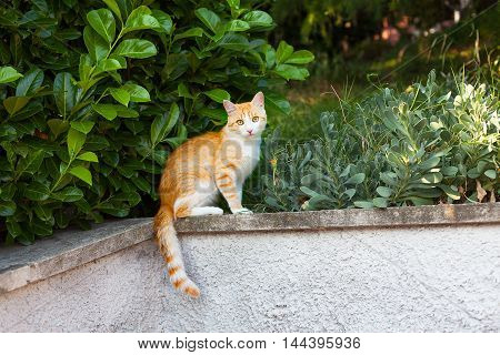 Ginger cat sits near the bushes and warily watching.