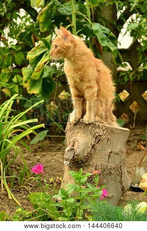 Red kitten on the stump in the flowerbed.