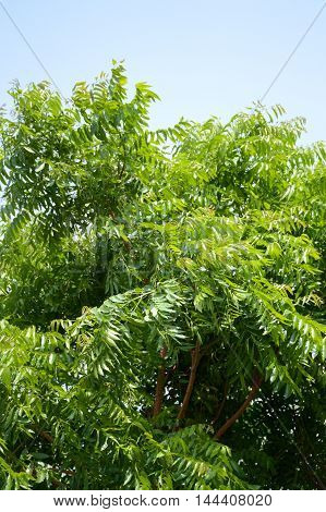 fresh green Neem plan tree in garden , Azadirachta indica