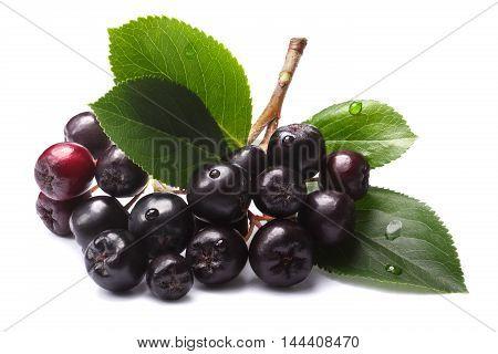 Aronia Melanocarpa (black Chokeberry), Paths