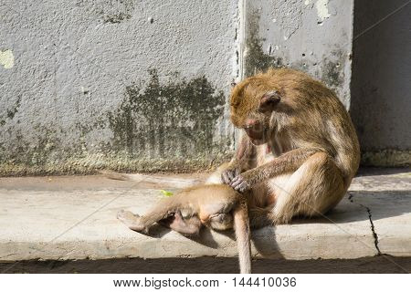 Monkey sitting and scratch young monkey for louse