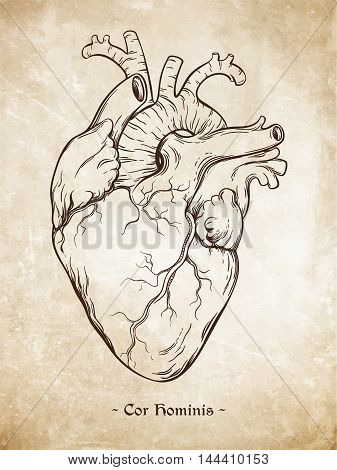 Hand Drawn Line Art Anatomically Correct Human Heart. Da Vinci Sketches Style Over Grunge Aged Paper