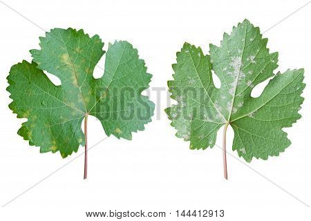 Closeup of vine grape leaf affected by Downy Mildew (Plasmopara vitikola) front and rear view isolated on white background