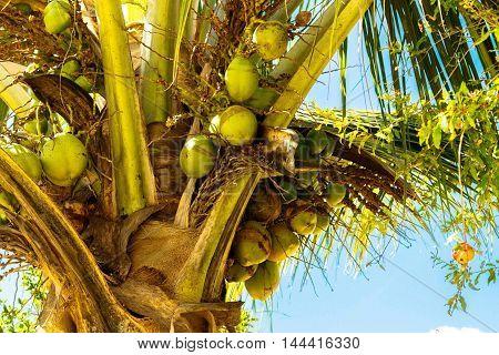 Árvore frutífera da região tropical que produz coco chamado coqueiro