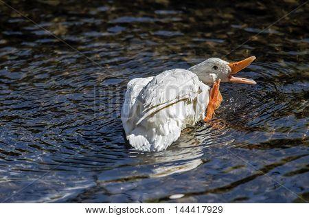 Pekin Duck, In The River Preening And Washing Itself