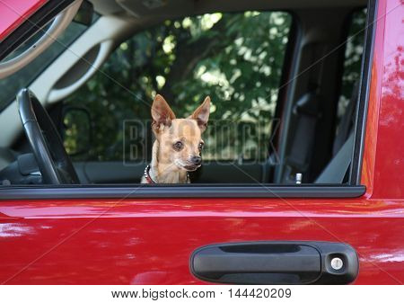 a small chihuahua in a red vehicle looking out the window waiting for the owner to return