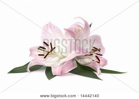 Lily flowers isolated on white