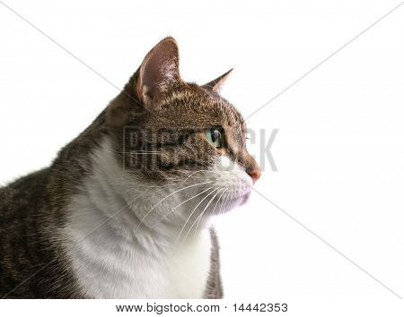 Head of big fat cat over white background