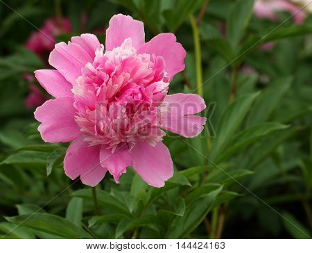 Pink peony flower over the green leaves