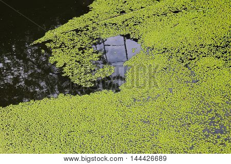 Green duckweed background. Aquatic plants in water poster