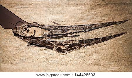 Pteranodon Fossil