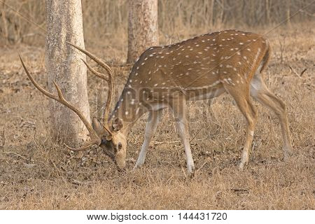 Spotted Deer in the Forest in Nagarhole National Park in India