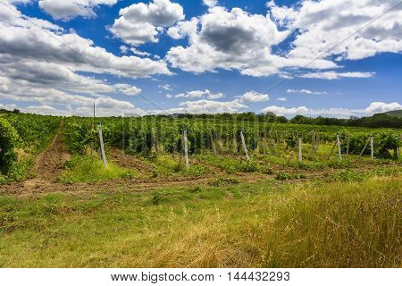 Landscape with wine grapes in the vineyard. Crimea. Stock photo