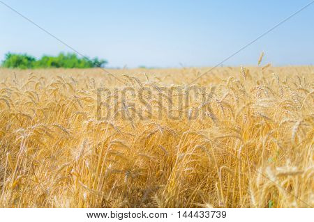 Ripe rye in a field on a summer day photographed with a medium aperture