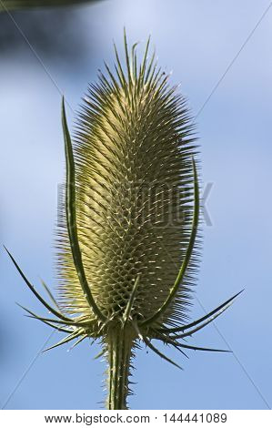 Single blossom of a common teasel on blue