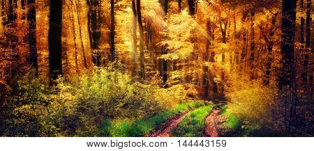 Panorama of a beautiful forest in autumn colours with warm rays of light falling unto a path