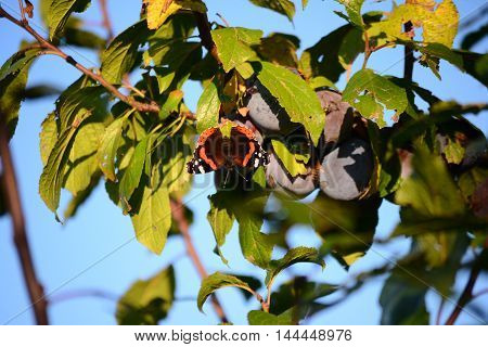 Red admiral butterfly (vanessa atalanta), wings opened