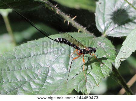 A female Rhyssa persuasoria, a giant Ichneumon wasp, photographed in Durham, UK