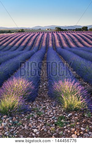 Blooming fields of lavender on the Valensole plateau in the Provence in southern France.