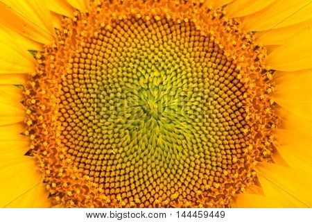 Middle of Sunflower Close-Up garden, plant, beaut