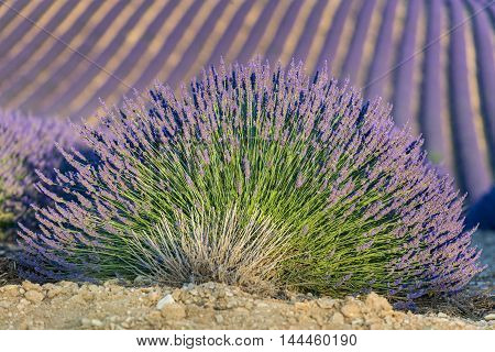 Lavender flower close up in a field in Provence France