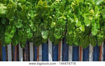 green tropical leaf garden with color wood fence