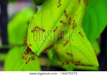 The ant lifeRed Ants nesting on tree