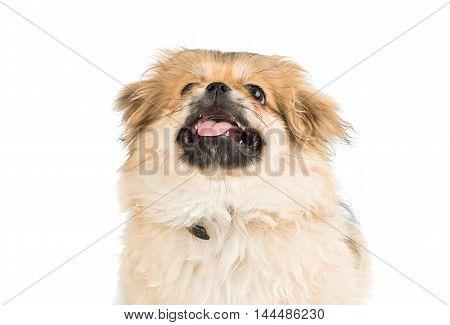 Pekingese puppy dog on a white background