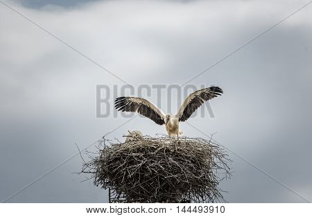 White stork in its nest - Bird photography with a beautiful white stork as it stays with the wings wide open on its big nest. Scientific called Ciconia ciconia the white stork is a carnivorous bird.