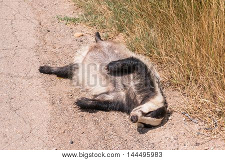 Dead Badger Lying By The Roadside